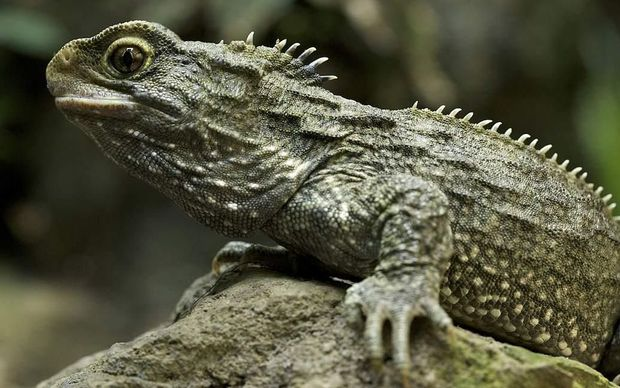 Image result for tuatara Nz  photos