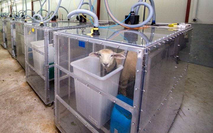 This sheep is part of another research project that investigates food additives that suppress methane production in the rumen, the first chamber in the stomach of cud-chewing animals like sheep and cattle.