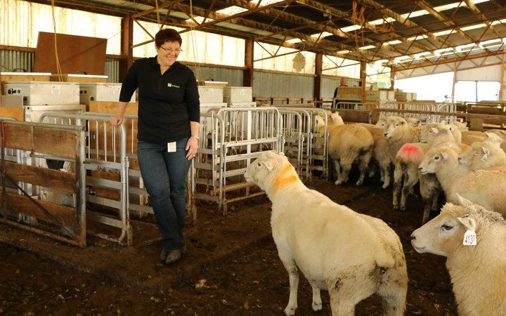 AgResearch senior scientist Suzanne Rowe runs a breeding trial to select for sheep with lower methane emissions.