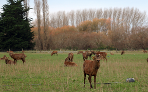 Stags on a deer velvet farm in North Canterbury