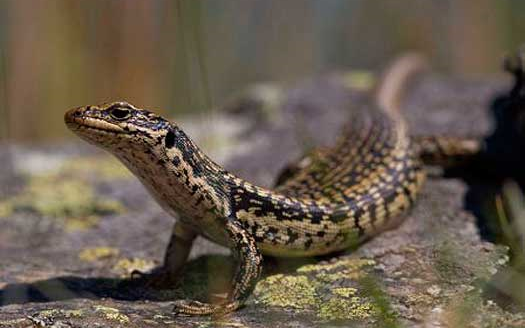 The grank skink is one of New Zealand's largest lizards.