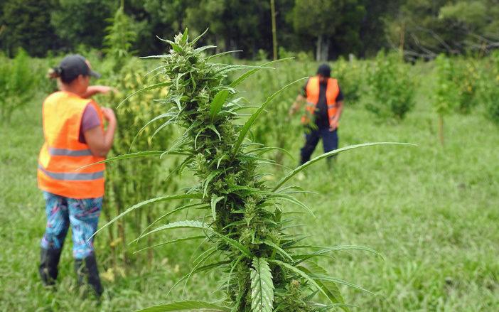 Hikurangi Enterprises wants to be at the forefront of the medicinal cannabis industry.