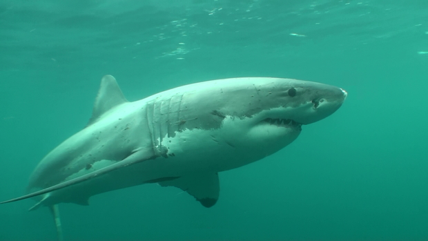 A mix of minced fish and fish oil will be used to attract great white sharks.