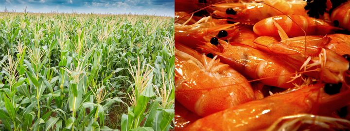 Byproducts from the corn and shrimp industries are the basis for a new edible food wrap.