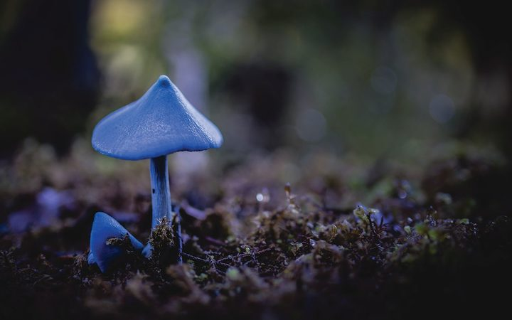 The already popular blue Entoloma's reputation has been further burnished, being named the national fungus.
