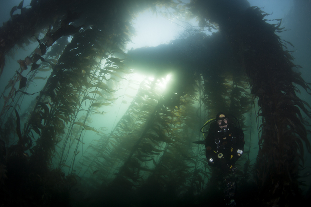 A DoC diver takes samples from a kelp forest in Ulva Island Marine Reserve which is home to more varieties of seaweed that anywhere else in the country.