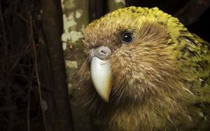 The kakapo is critically endangered.