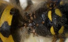 Mites infesting a german worker wasp - they may help control feral wasps.