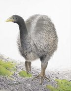 Heavy-footed moa. Image from 'Extinct Birds of New Zealand' by Alan Tennyson and Paul Martinson.