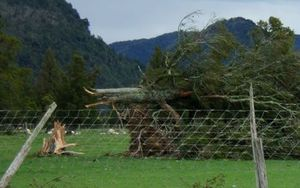 Trees at Whataora were felled by the wind.