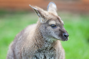 Head shot of a wallaby. (File pic)