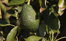 New Zealand's avocado growers expect a bumper crop this year.