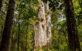 Tane Mahuta, one of the largest Kauri trees in Waipoua Forest.