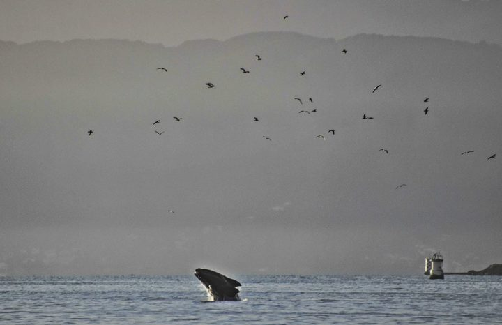 The Southern Right Whale in Wellington Harbour
