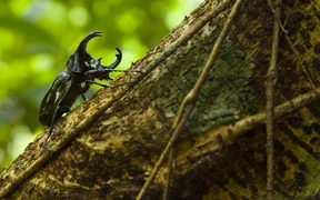 Rhinoceros Beetle on trunk Borneo Danum Valley Malaysia.