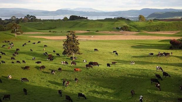 Cows grazing on rolling farmland on the shore of Lake Rotorua.