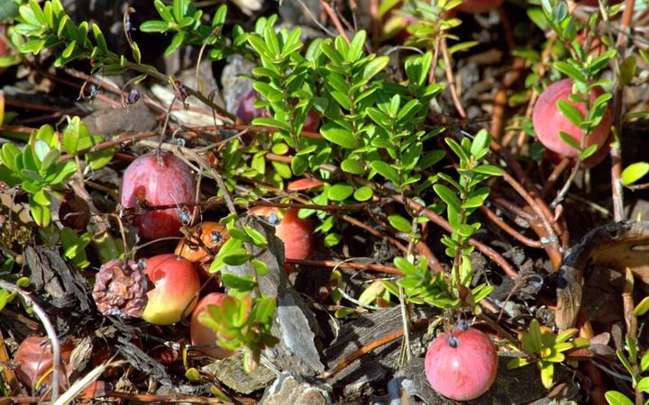 Cranberry shrubs with berries growing.