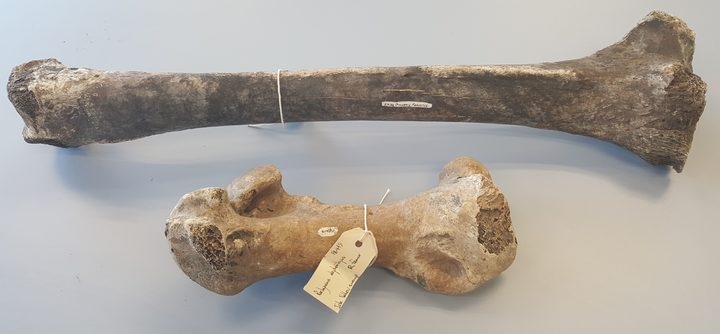 These two large leg bones from moa are easy to identify.