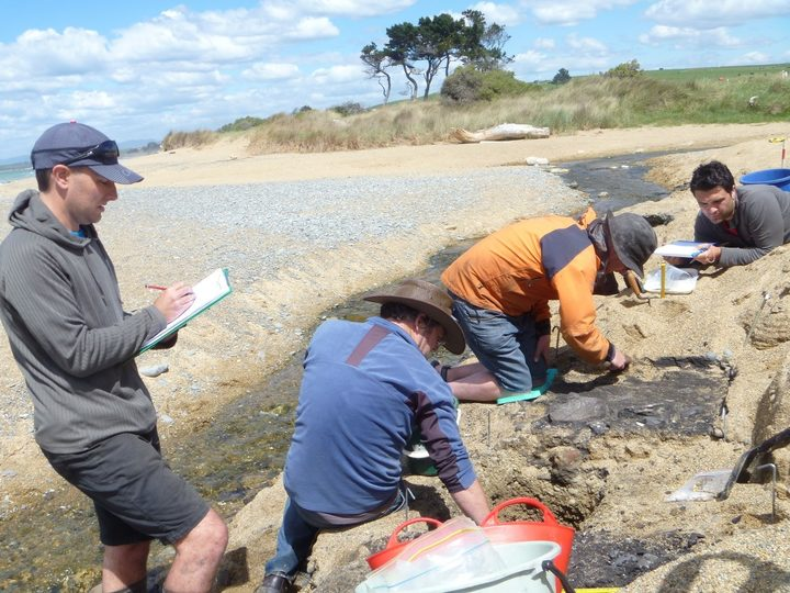 Excavating an early Maori midden on the beach at Awamoa, just south of Oamaru.
