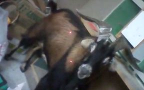A goat that was tasered 13 times and was then put down.