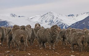 Sheep in foreground with snow clad alps behind