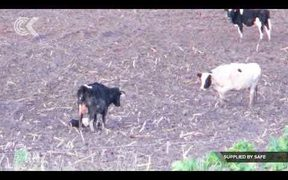 Cows forced to give birth in muddy fields – SAFE