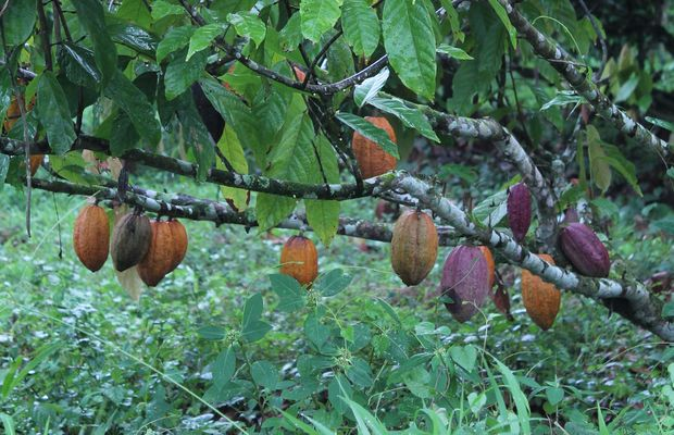 cocoa tree in Papua New Guinea