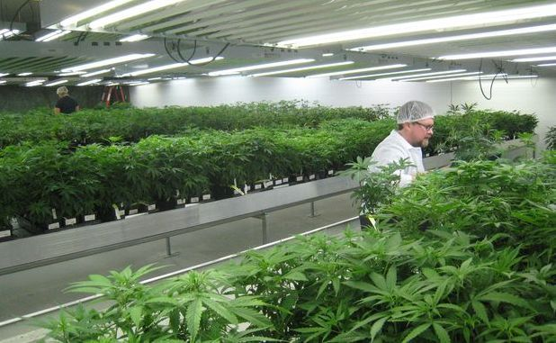 Medical marijuana plants in Ontario, Canada.
