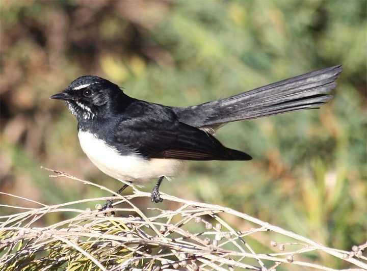 Willie wagtails are nocturnal singers, and potentially very vulnerable to street lighting, and one of the species being investigated by students working with Dr Therésa Jones from the Urban Night Lab.