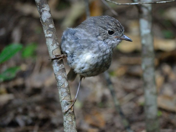 A young toutouwai, or North Island robin. There is a thriving robin population in Zealandia sanctuary.