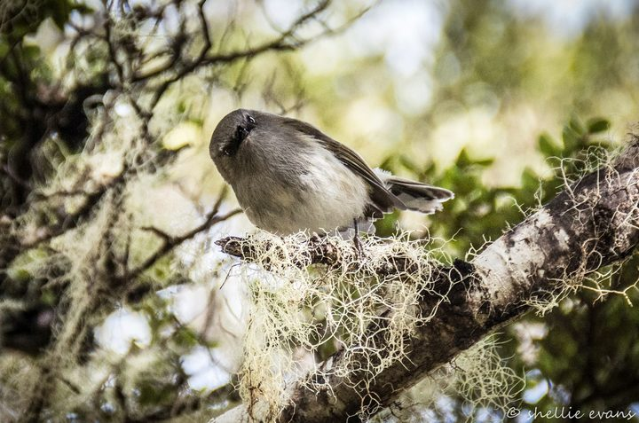 Riroriro or grey warblers are heard more often than they are seen. They are the second smallest native bird in New Zealand.