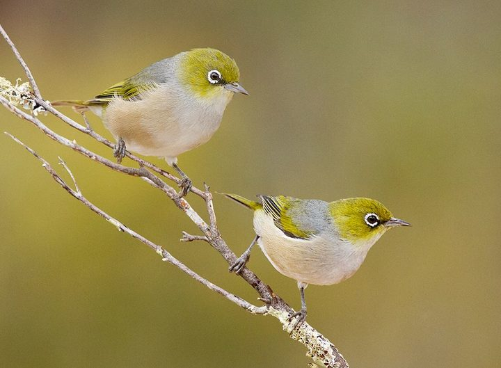 Tauhou or silvereyes established in New Zealand in the 1850s. The same species is found in Australia.