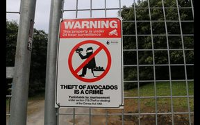 Avocado growers install security systems to combat thefts