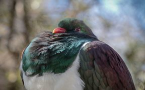 Last year New Zealanders counted more than 15,000 Kererū