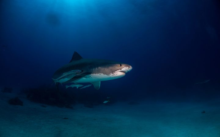 Fourth Shark Killed In Australia Following Two Attacks