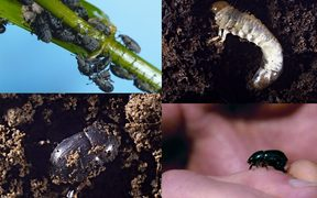 The black beetle, grass grub and Argentine stem weevil.