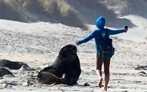 A woman dances in front of the marine mammal at Sandfly Bay before it lunges at her.
