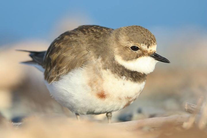 A female banded dotterel.