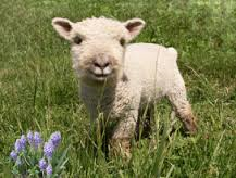 Baby Doll sheep