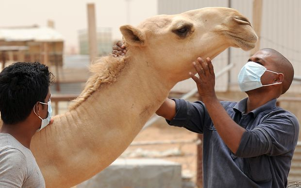 Workers at a farm outside Riyadh wear masks and gloves when dealing with camels to avoid spreading MERS after health experts warned the animal was the likely cause of the disease.