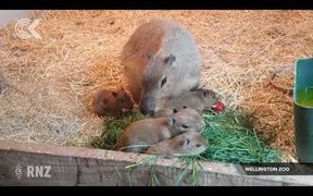 'Astoundingly' cute Capybara babies result of zoo's match making