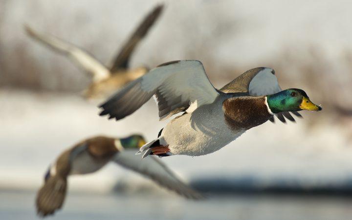 26741686  - 一群鸭子