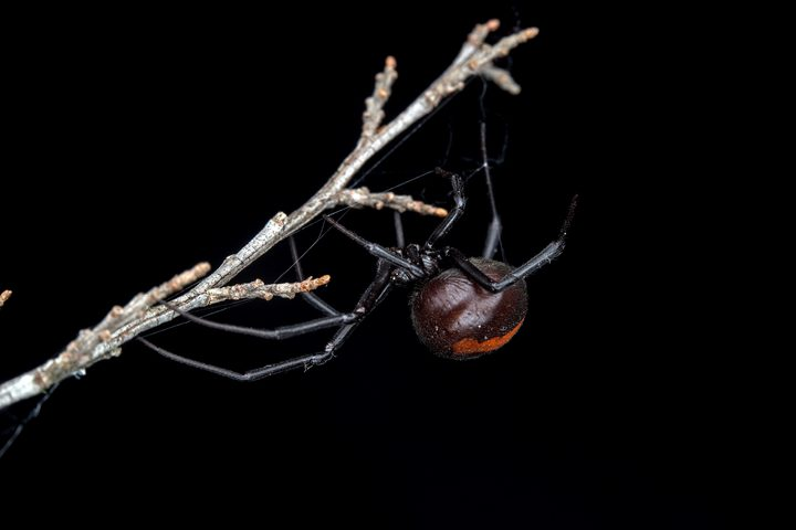 The Australian redback spider, Latrodectus hasseltii has already invaded parts of New Zealand.