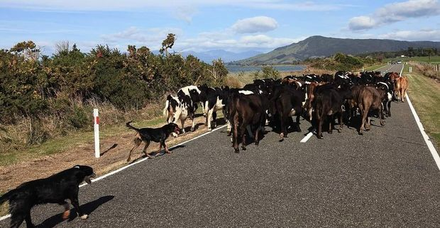 Cattle on the move in Golden Bay.