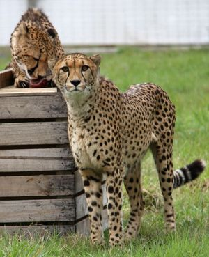 Shomari, left, pictured with Cango at Orana Wildlife Park in Christchurch.