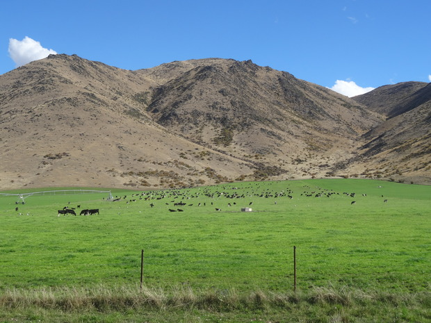 Irrigation has brought cattle to land once grazed by sheep.