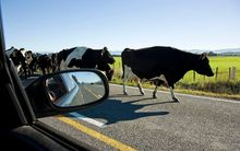 A lot of dairy cows are on the move - along with their owners.