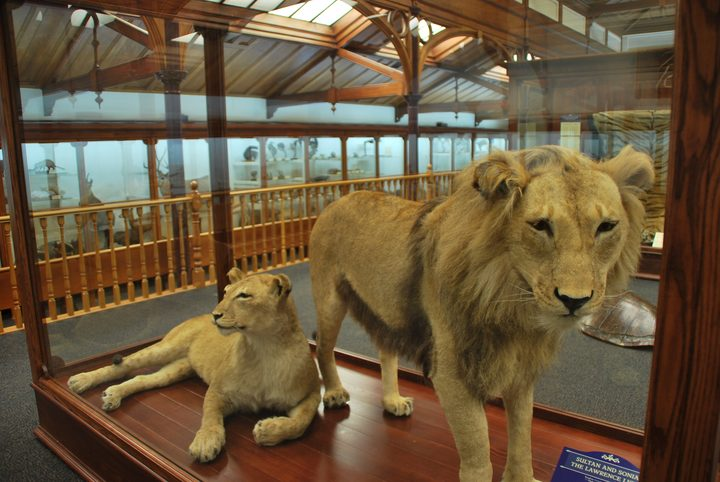 The Lions of Lawrence | RNZ
