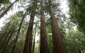 Forest of redwood trees in California.