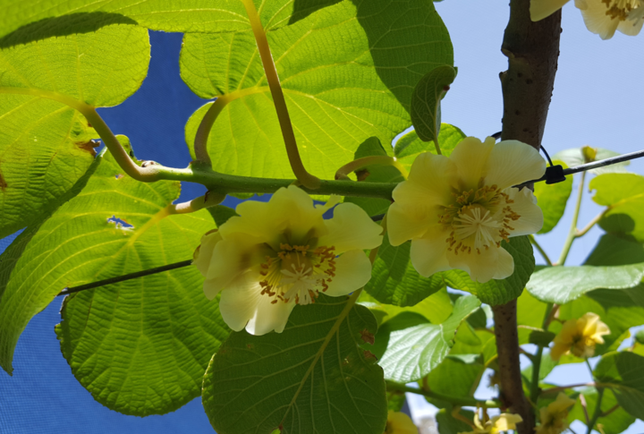 A gold kiwifruit vine in flower
